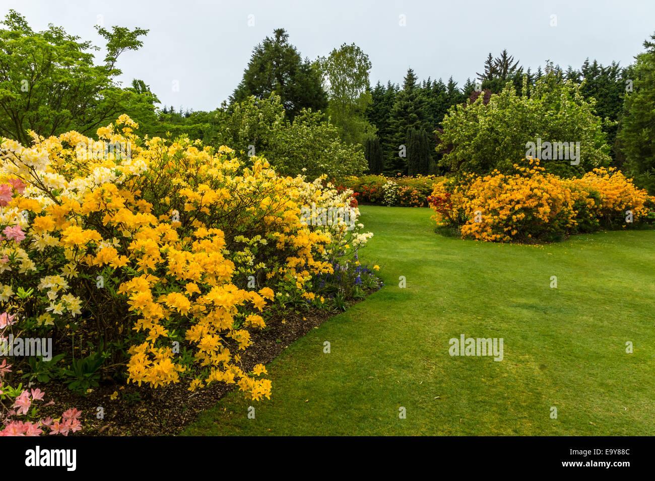Yellow azaleas - Stock Image