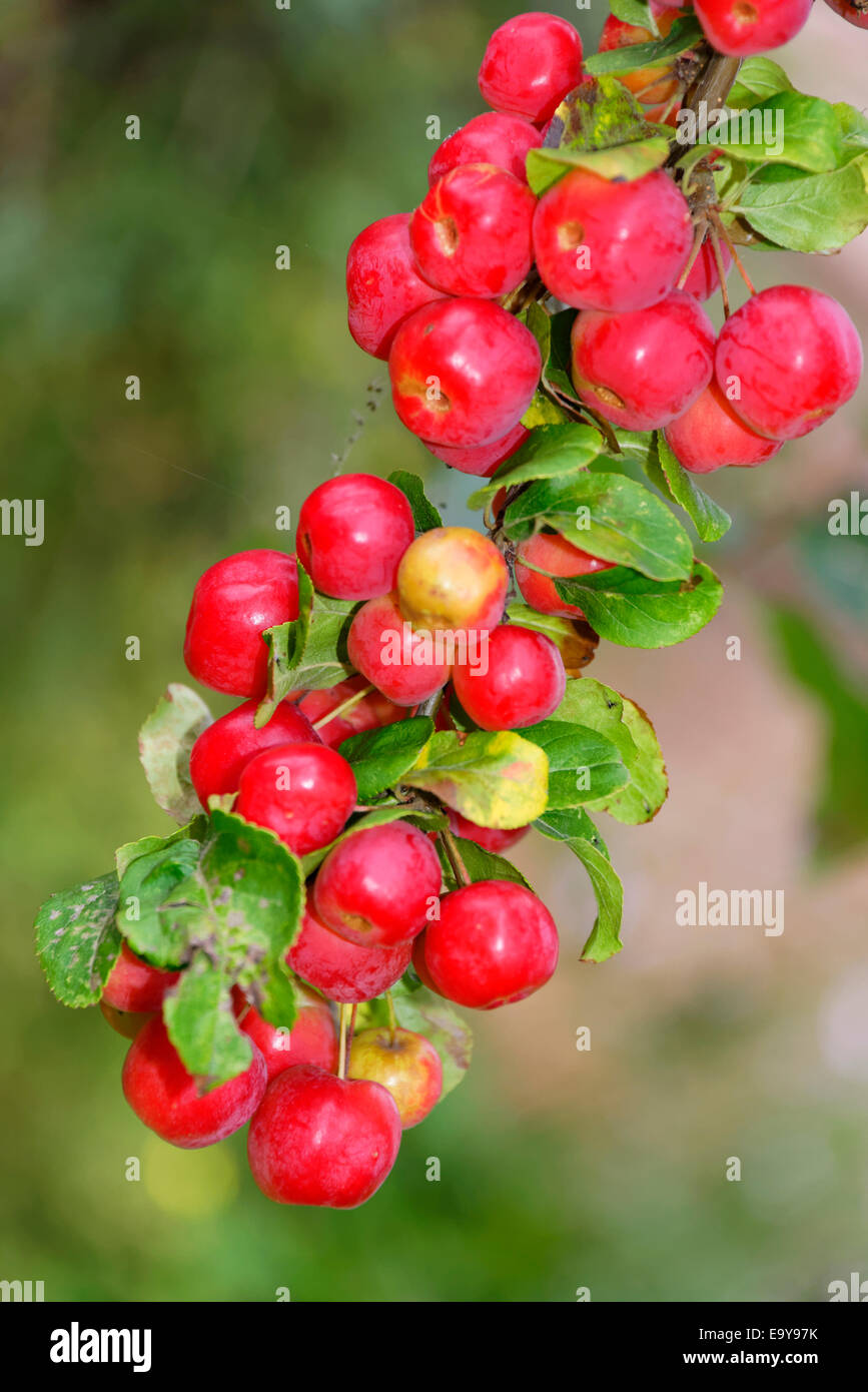 A heavy hanging cluster of crabapples, Autumn, Yorkshire, England Stock Photo