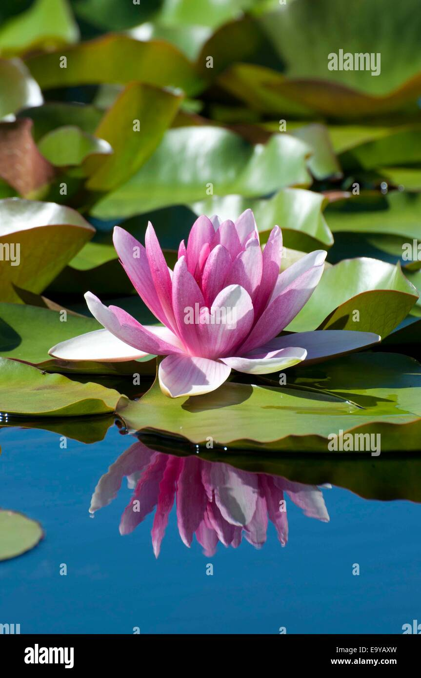 A Water Lilly reflected in Spencer Lake, Shelton, WA, Mason County, USA. - Stock Image