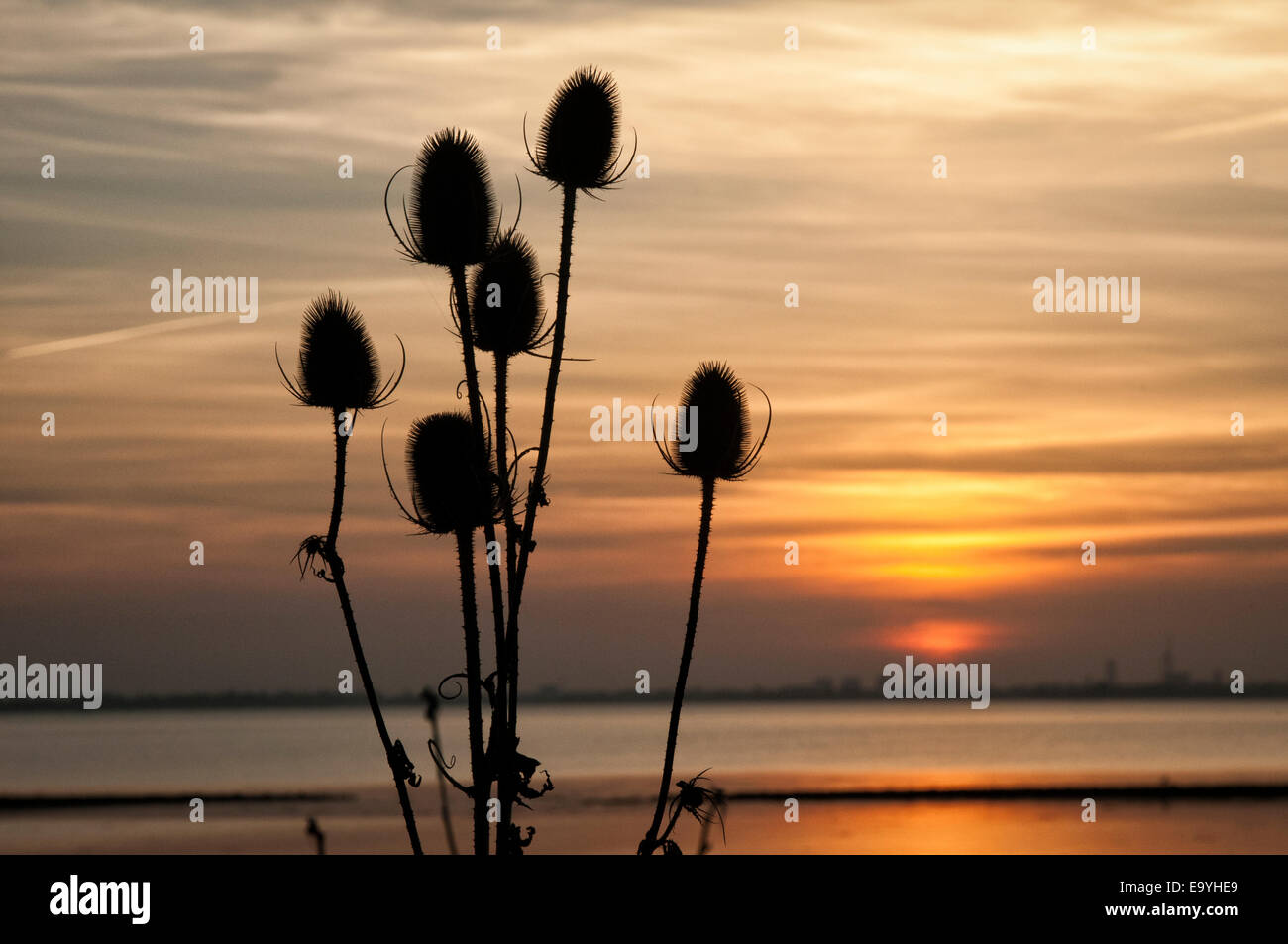 Sunsetting in Langstone Harbour Thistles - Stock Image