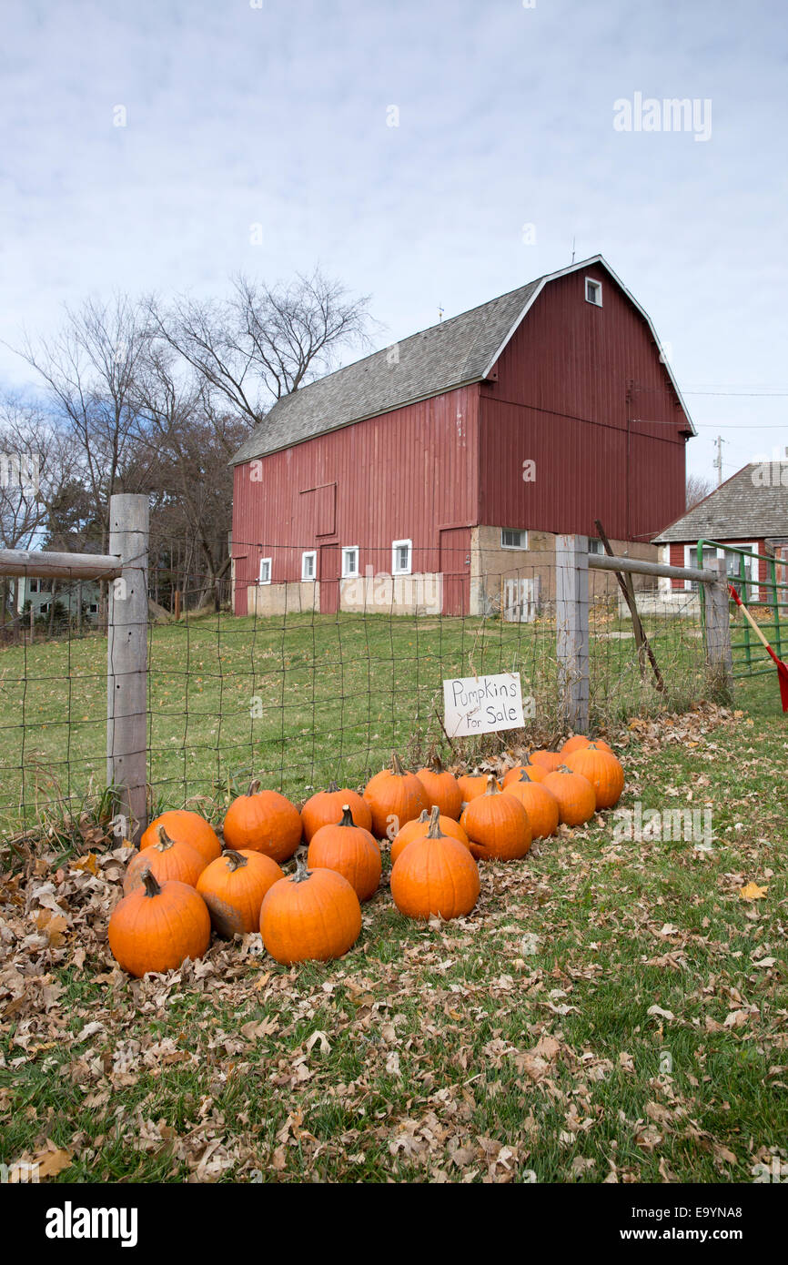 Crop of pumpkins for sale with a red barn in the background - Stock Image