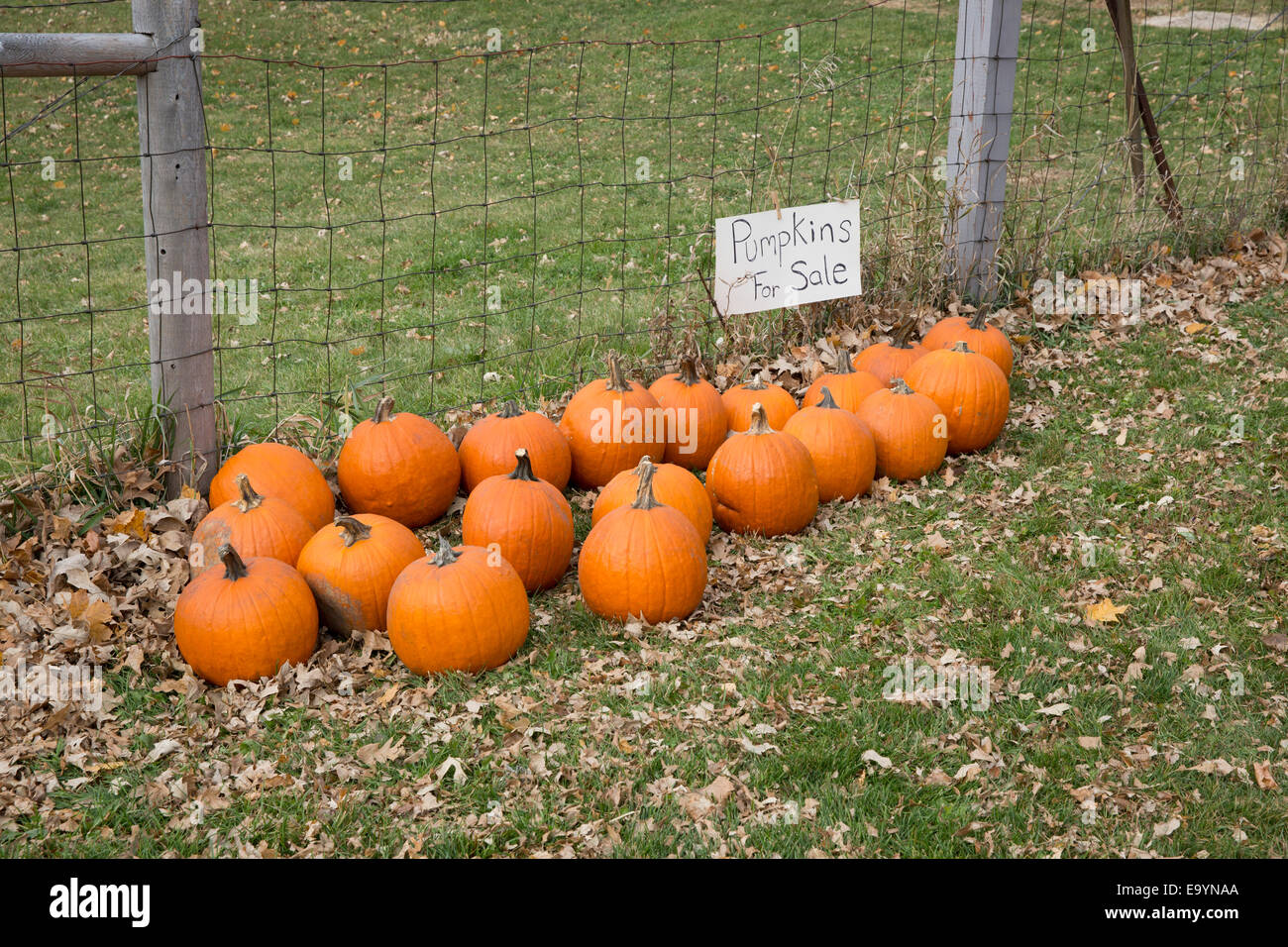 Crop of pumpkins for sale along a fence - Stock Image