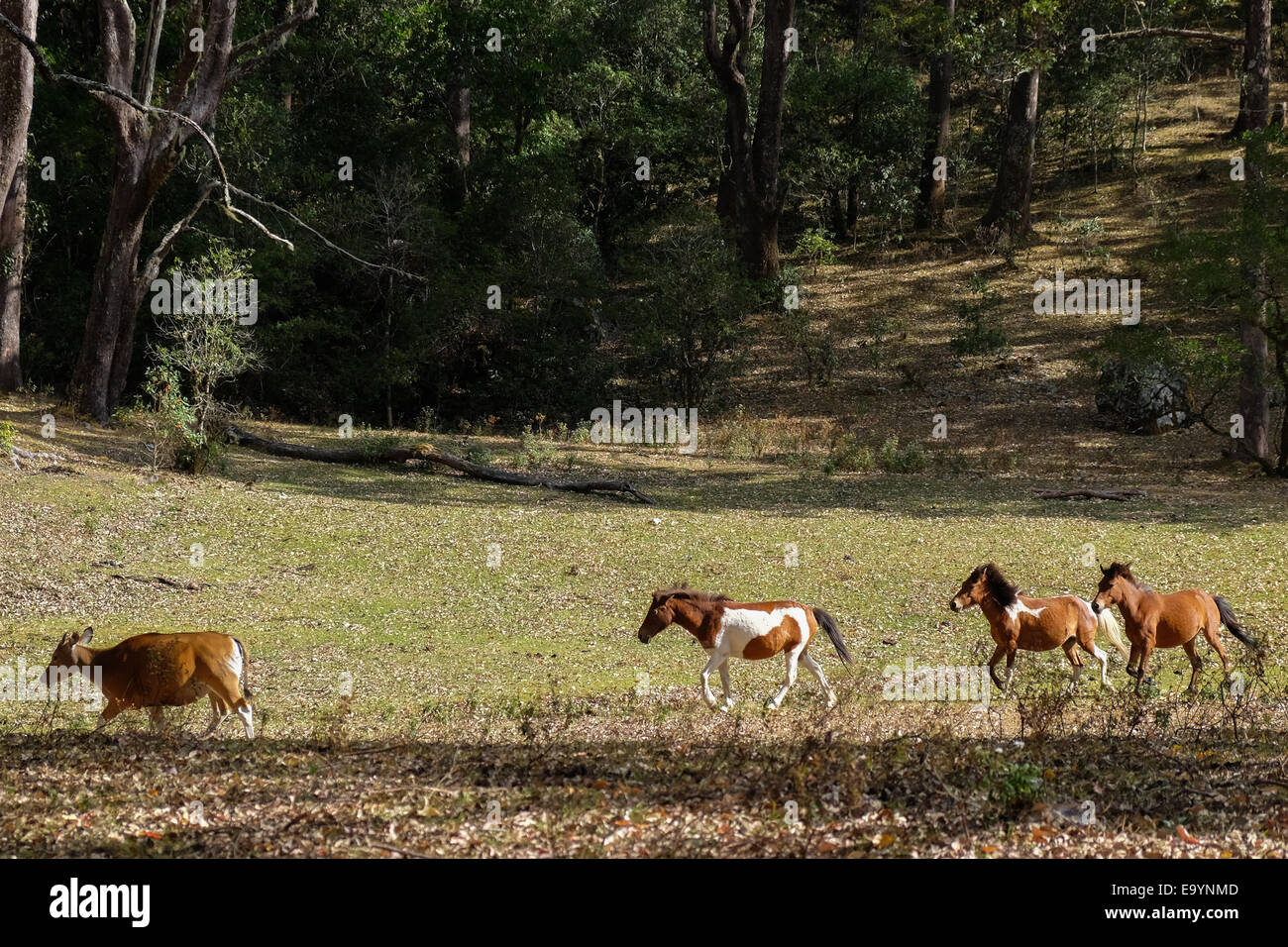 Timor horses and a Bali cow at savanna near Mount Mutis, West Timor, Indonesia. - Stock Image