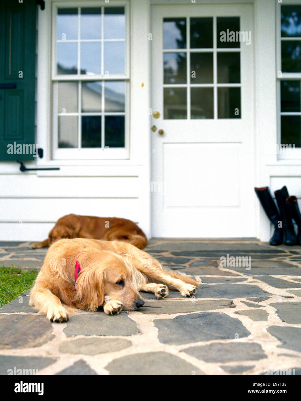 two golden retriever dogs rest by front door of homes - Stock Image