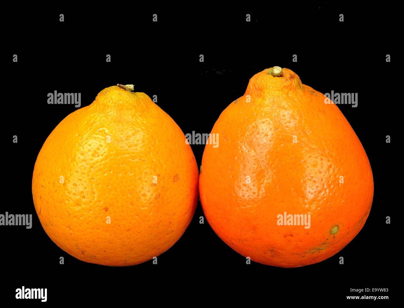 Two Mineola Tangelo (Honey Bell) oranges on a black background. - Stock Image