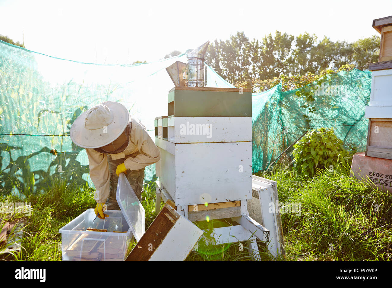 Female beekeeper putting honeycomb trays into plastic container on city allotment - Stock Image