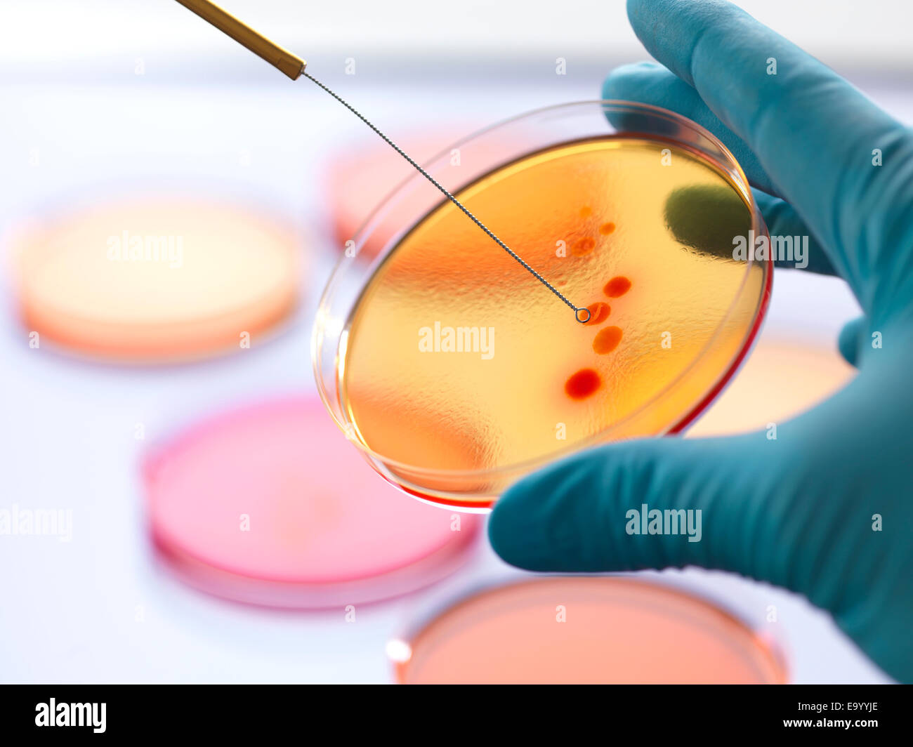 Close up of male scientist hand inoculating an agar plates with bacteria in microbiology lab - Stock Image