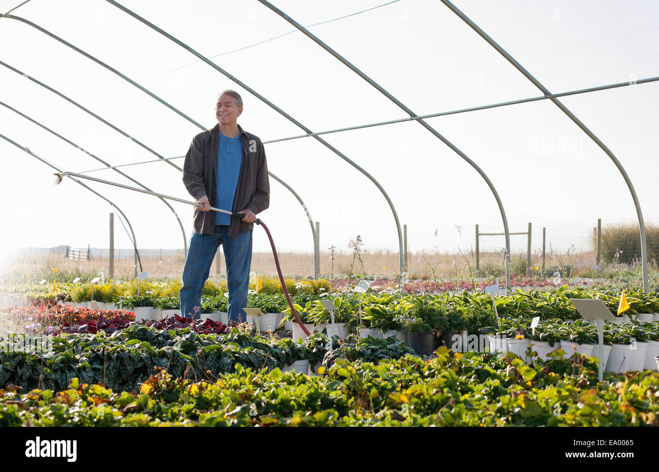 Male horticulturalist watering plants in plant nursery polytunnel - Stock Image