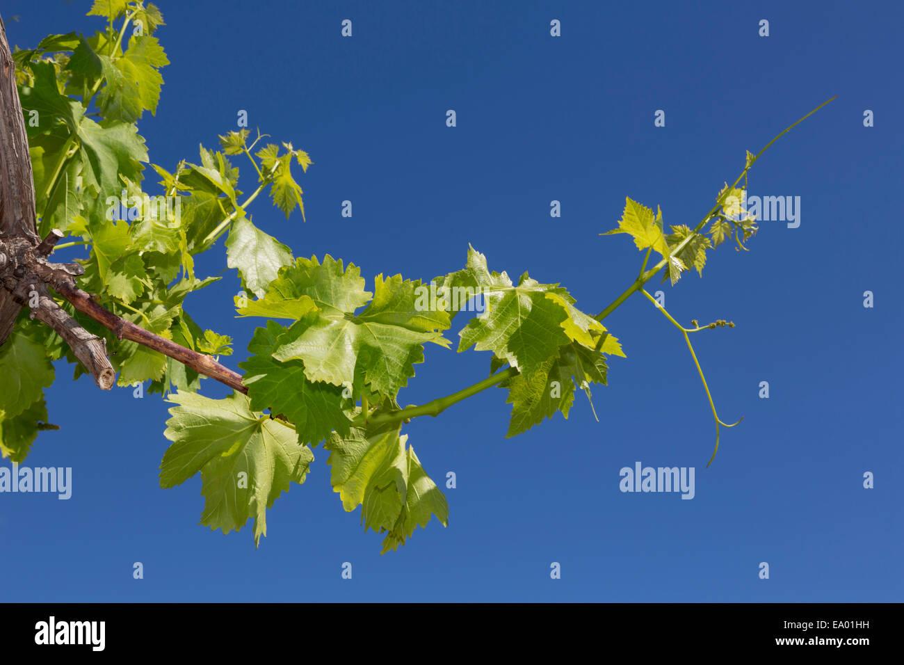 New shoot of a grape vine in springtime. Vitis vinifera. Stock Photo