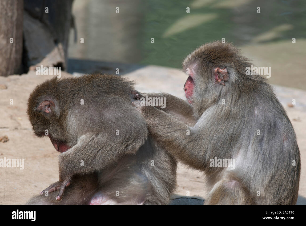 Japanese macaques grooming, Macaca fuscata, Bioparco, Rome, Italy - Stock Image