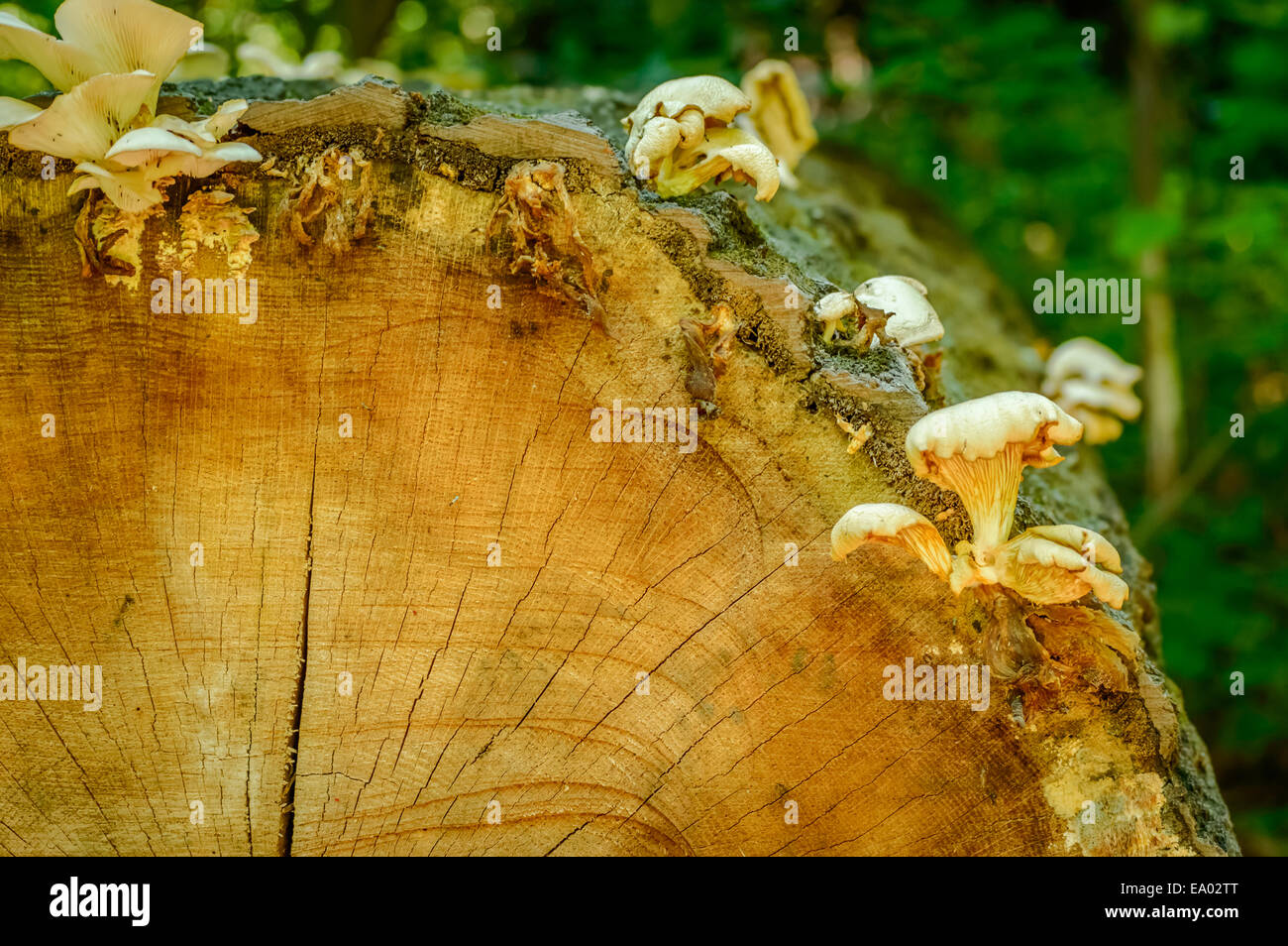 tree log with fungi with a blurred background - Stock Image