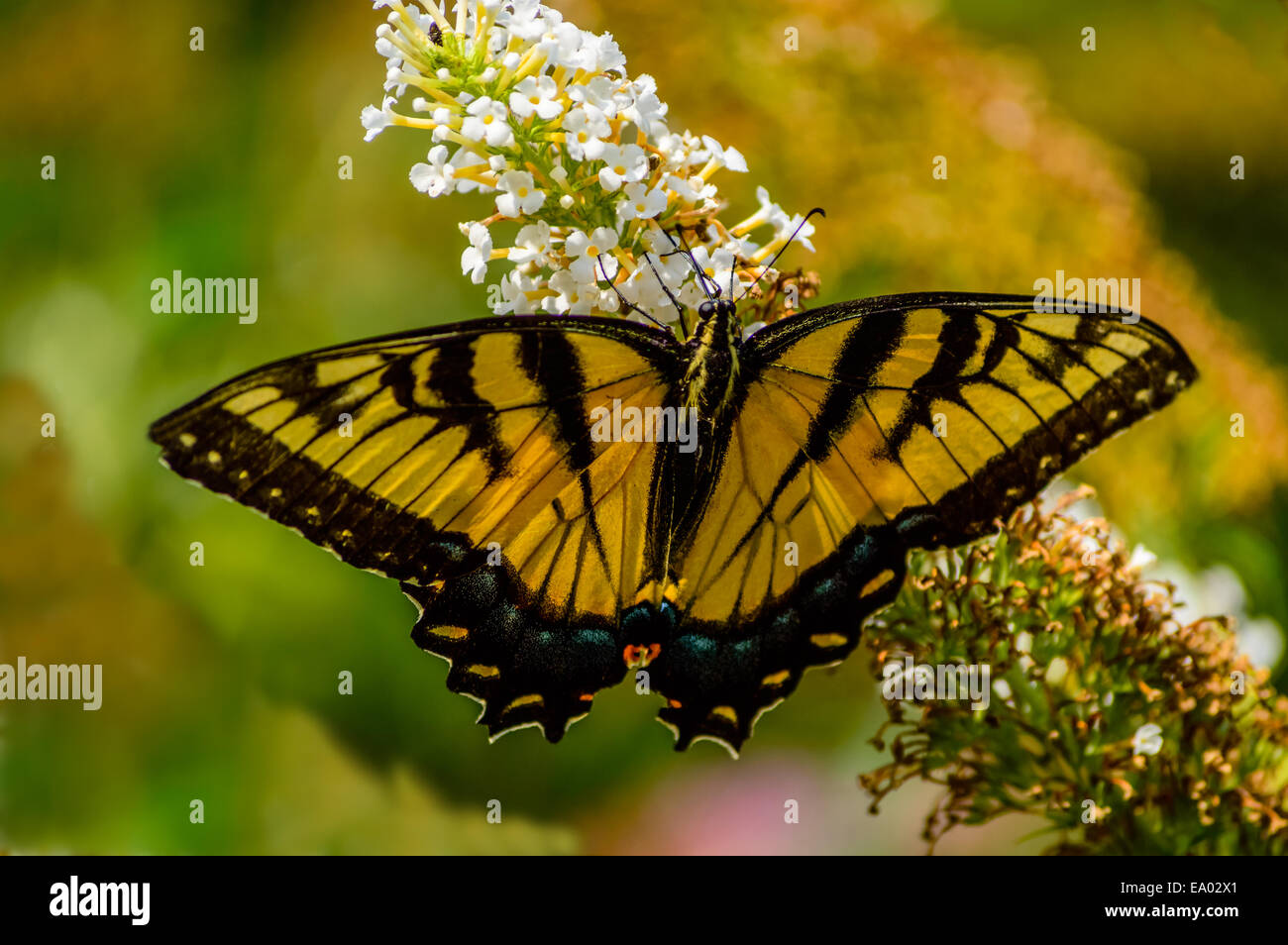 gold and black butterfly with wings open on a white flower - Stock Image