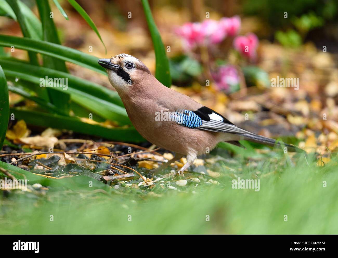 Jay visting a London garden in Autumn, stocking up on food for winter Stock Photo