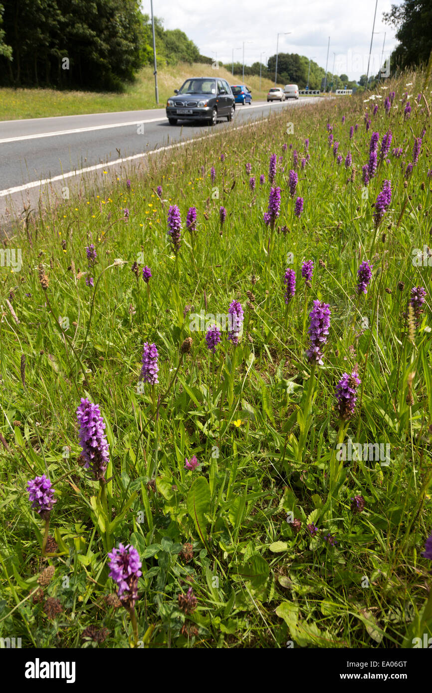 Early purple orchid (Orchis mascula), Llanelli roadside, Wales, UK - Stock Image