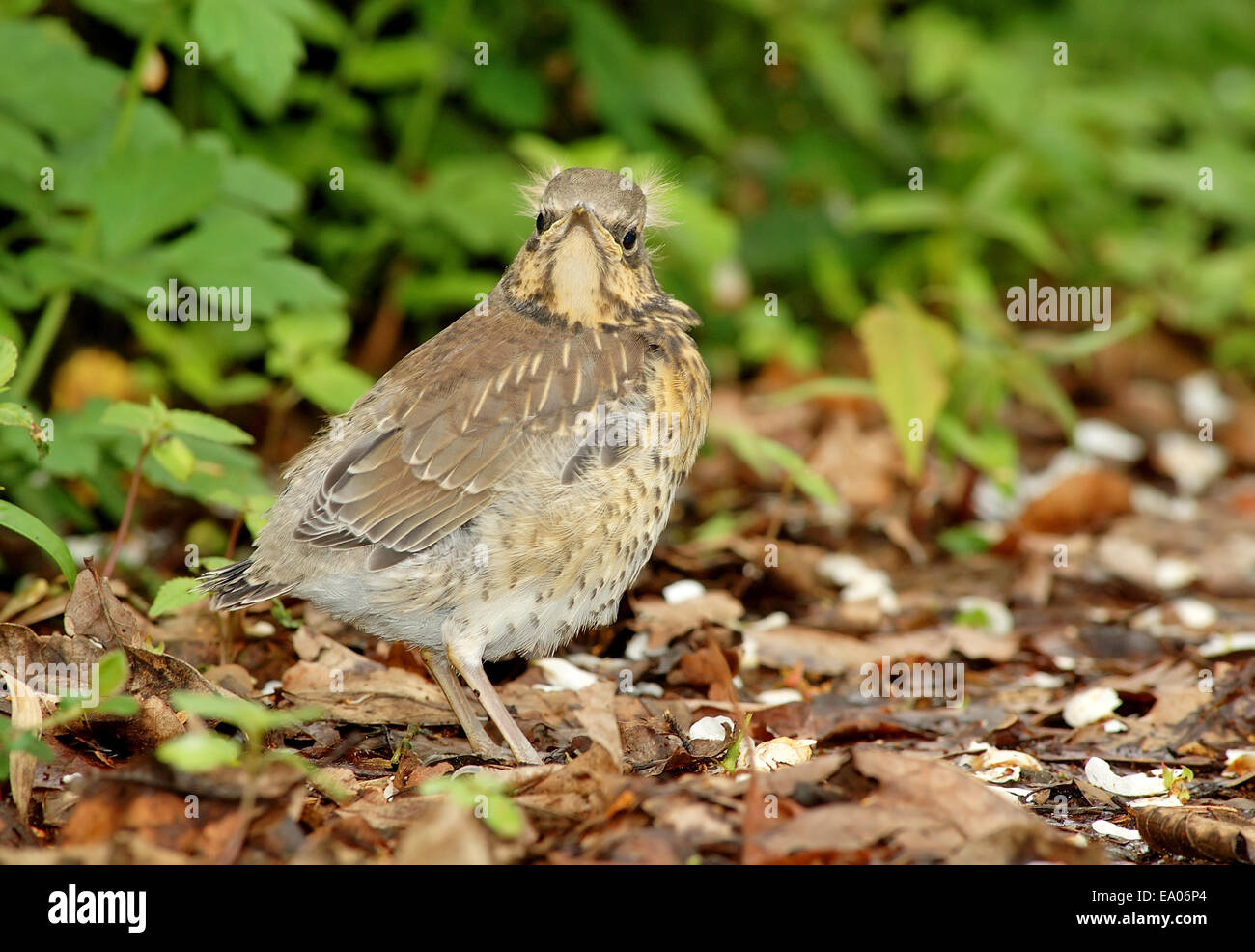 Fieldfare chick , fledgling - Stock Image