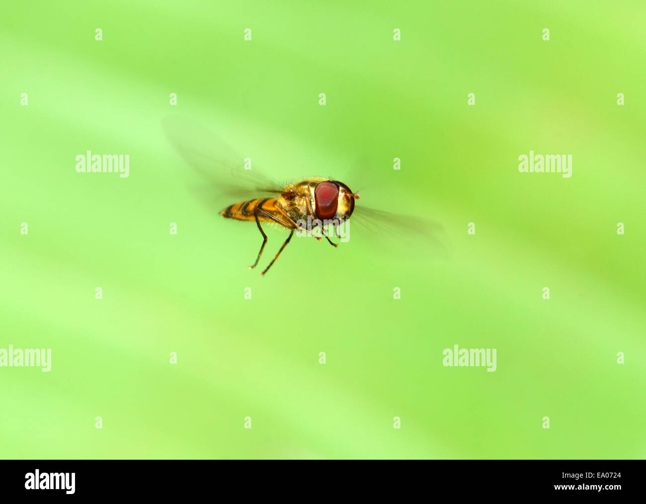 Hover fly hovers - Stock Image