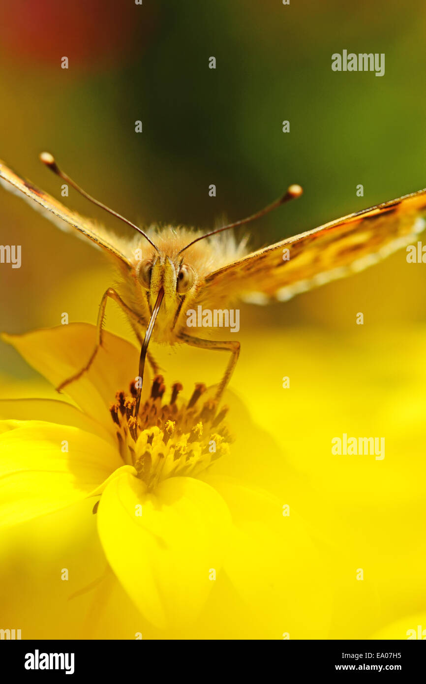 Painted lady feeding on nectar Stock Photo