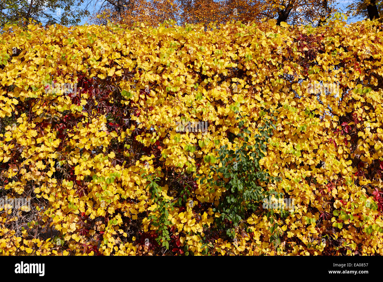 autumn fence foliage turning yellow Saskatchewan Canada - Stock Image