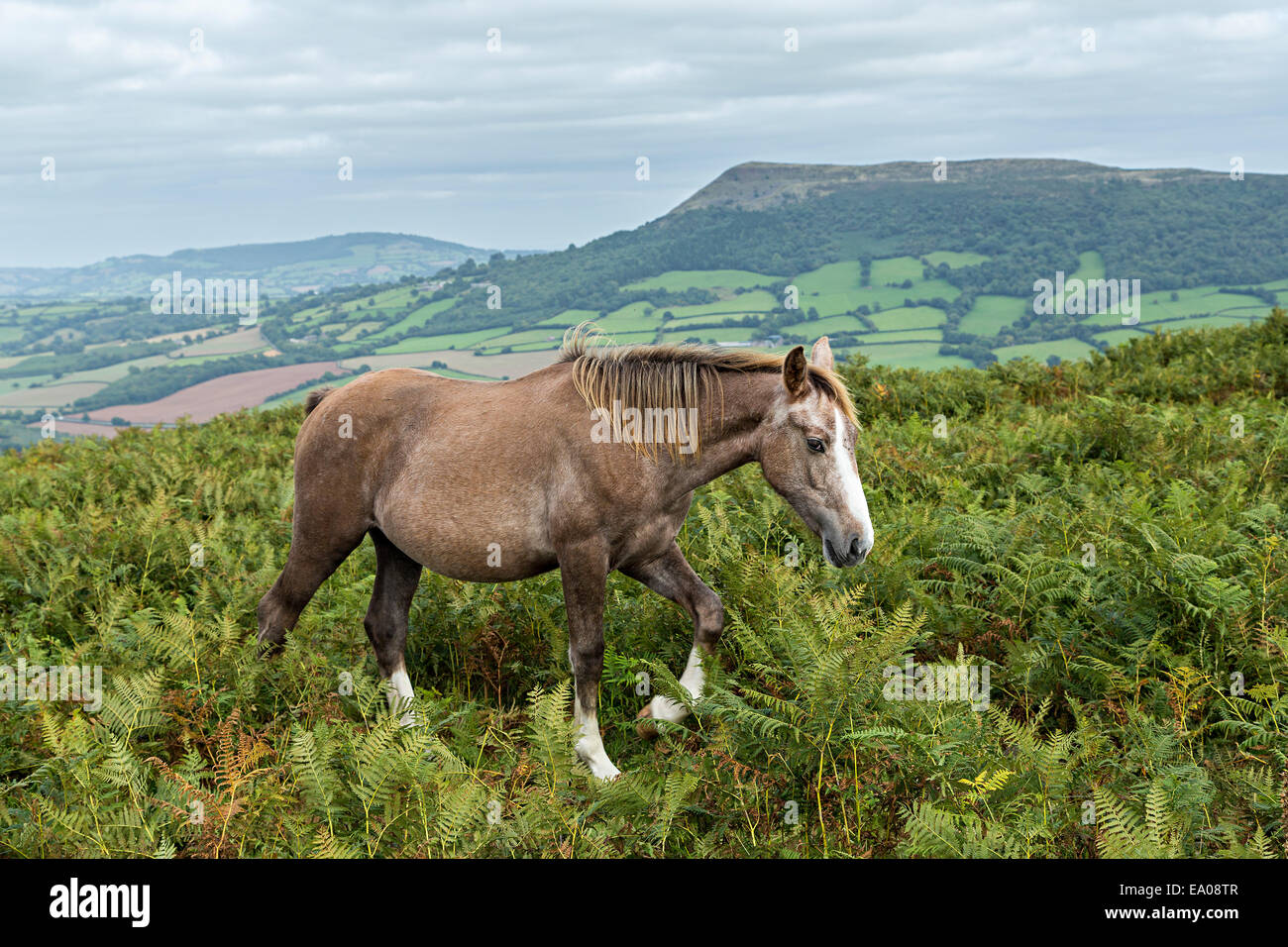 Pony walking in bracken on the Sugar Loaf mountain, Abergavenny, Wales, UK - Stock Image