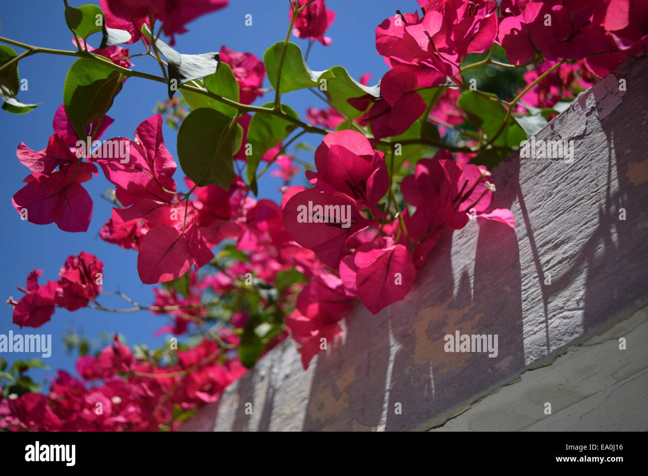 Bougainvillea under the blue summer sky - Stock Image