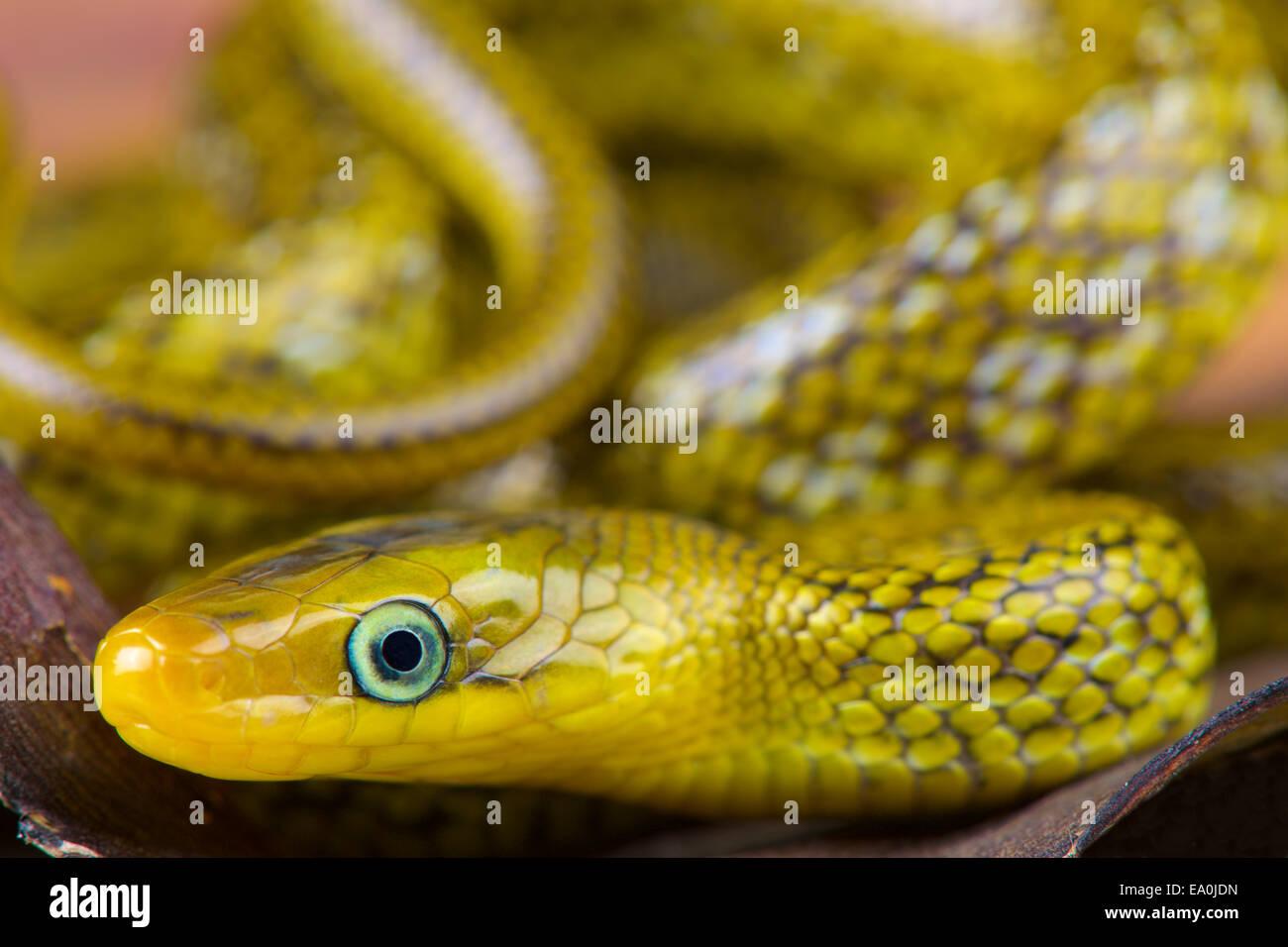 Himalayan trinket snake / Orthriophis hodgsoni - Stock Image