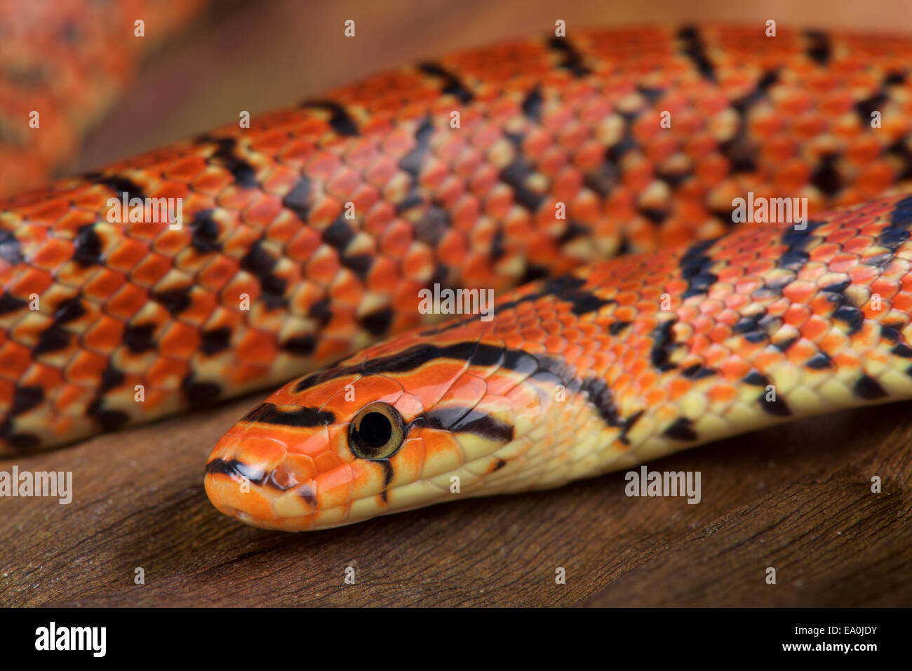 Japanese forest snake / Euprepiophis conspicollatus Stock Photo