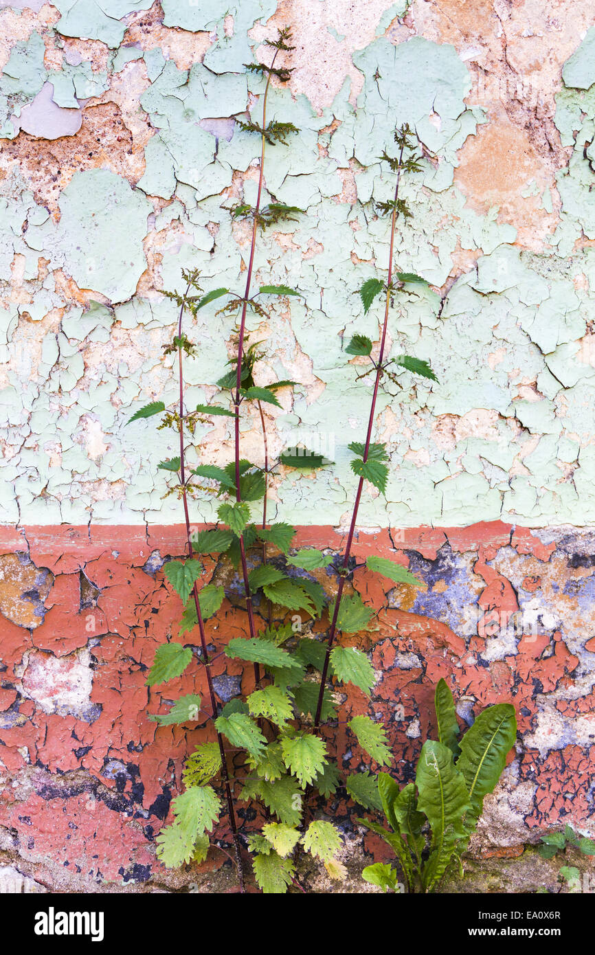 weed in front of wall Stock Photo