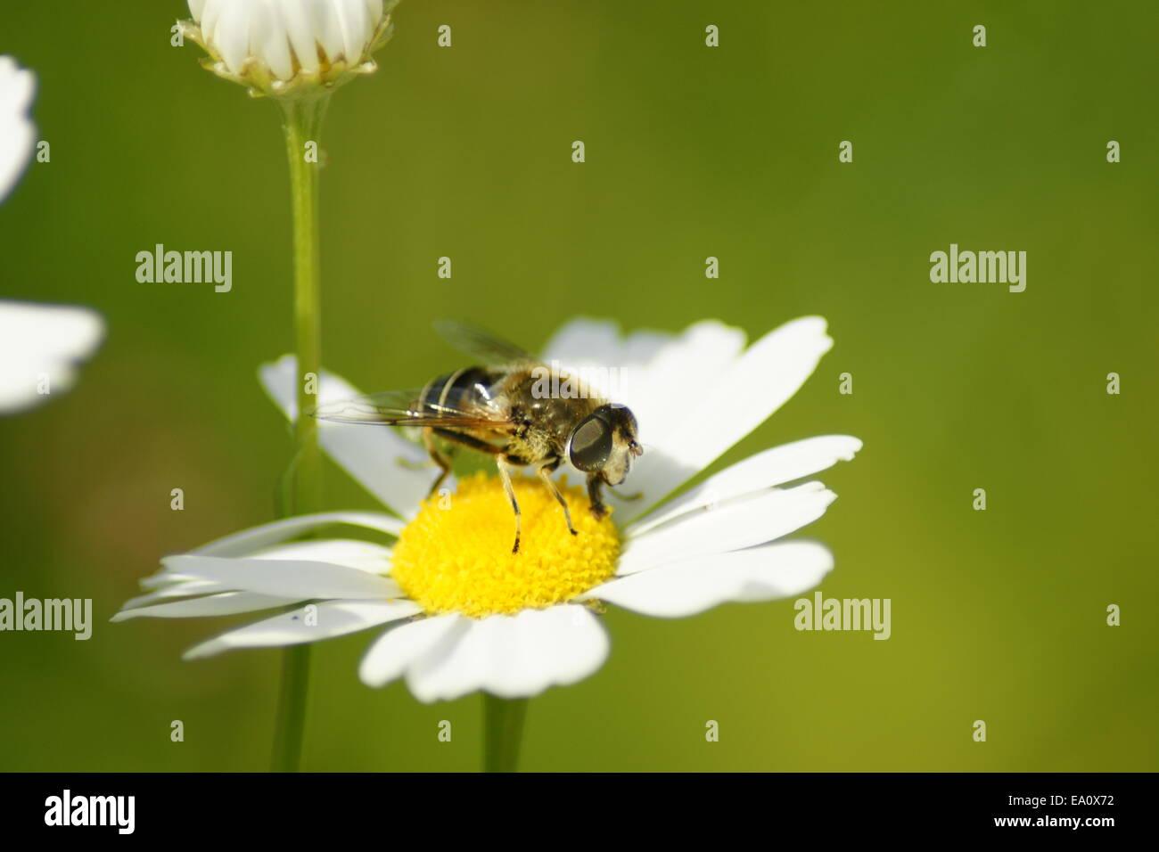 Flower fly on a white marguerite blossom - Stock Image