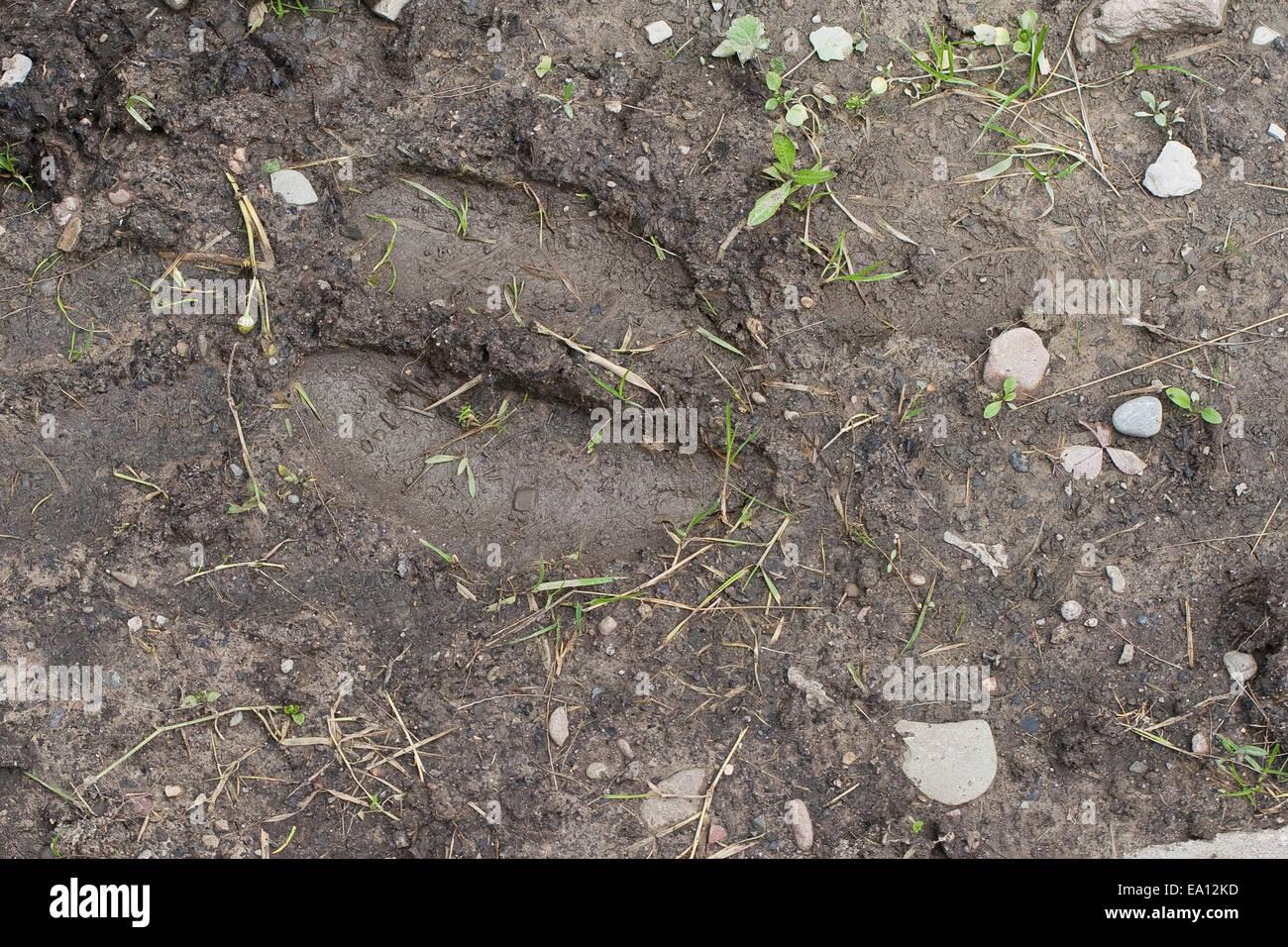 Elk, mark, sign, track, Elch, Spur, Trittsiegel, Fußspur, Fußabdruck im Schlamm, Alces alces, Elan - Stock Image