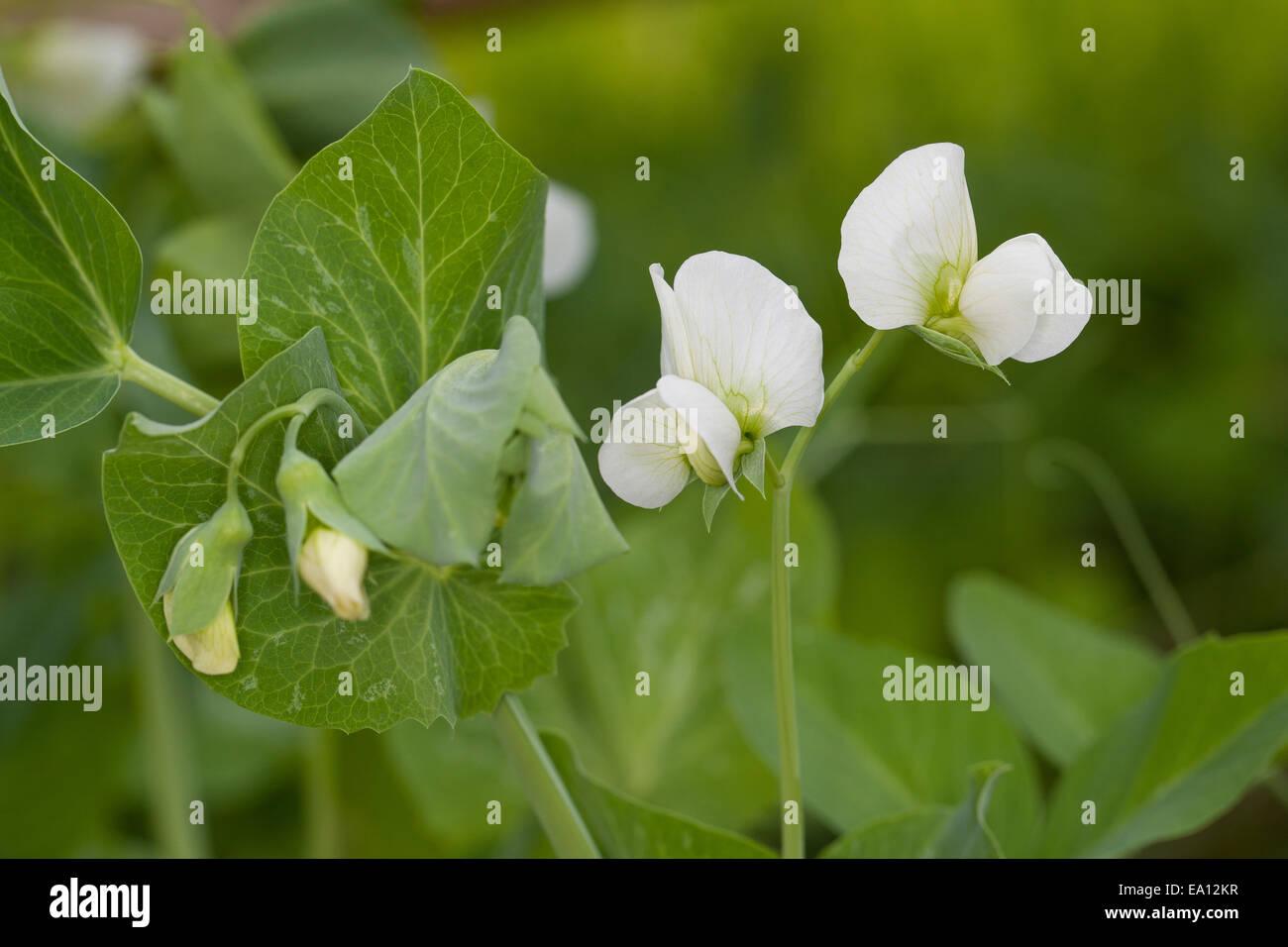 Pea, Garden Pea, Erbse, Gartenerbse, Speiseerbse, Speise-Erbse, Palerbse, Pisum sativum, Pisum sativum subsp. sativum - Stock Image