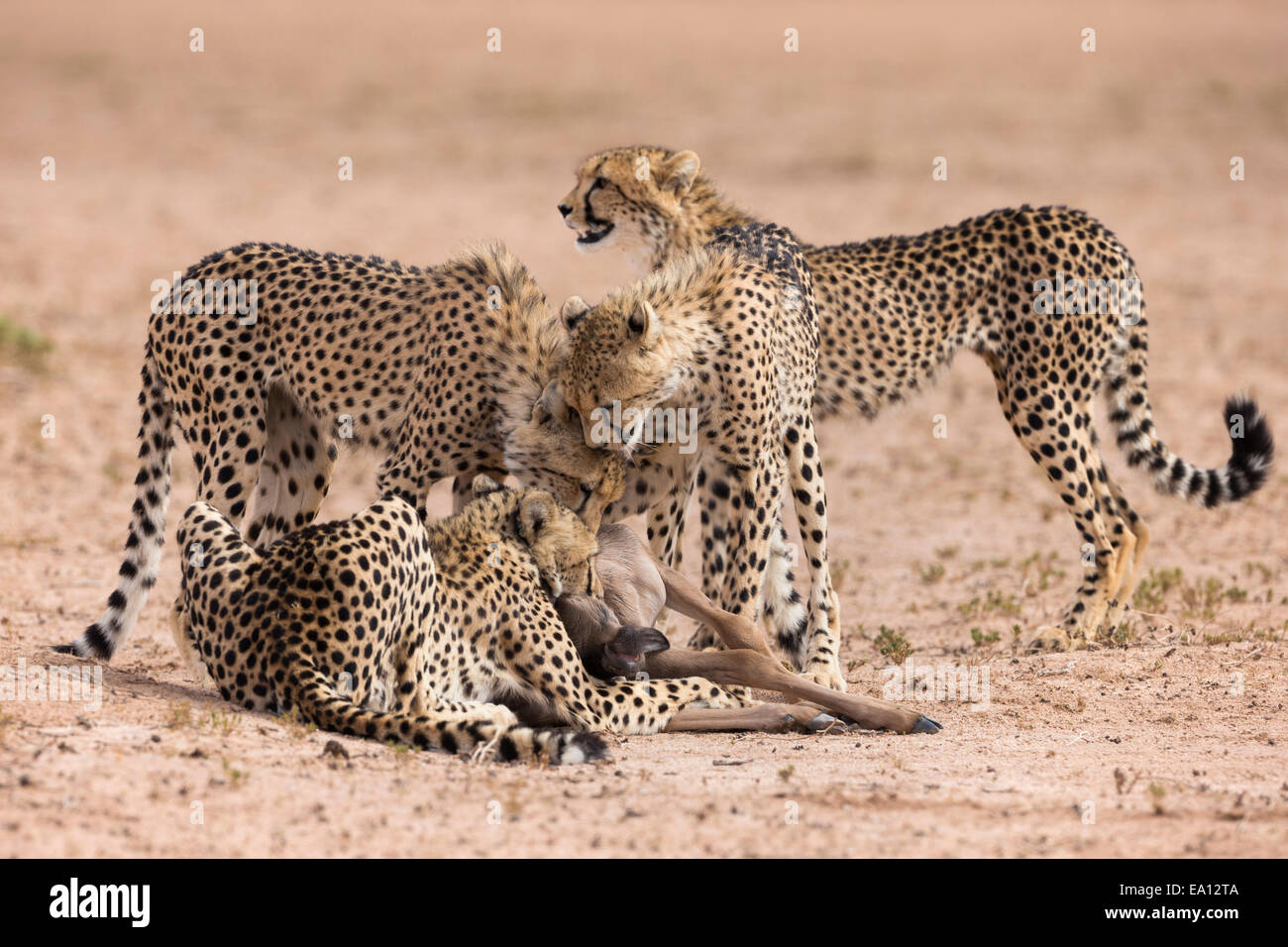 Cheetah (Acinonyx jubatus) killing baby common wildebeest (Connochaetes taurinus), Kgalagadi Transfrontier Park, - Stock Image