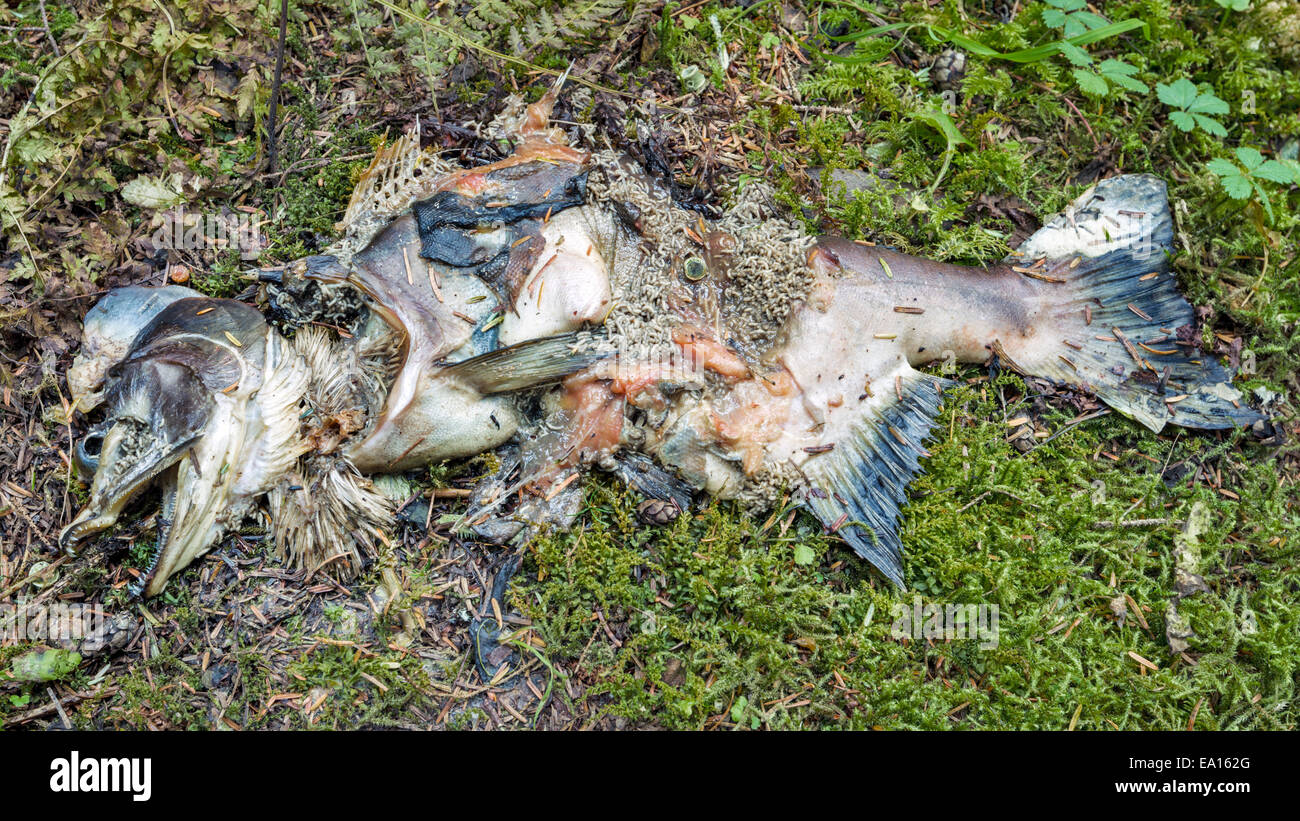 Leftover salmon carcasses decompose and feed plants of the coastal rain forest in Alaska - Stock Image