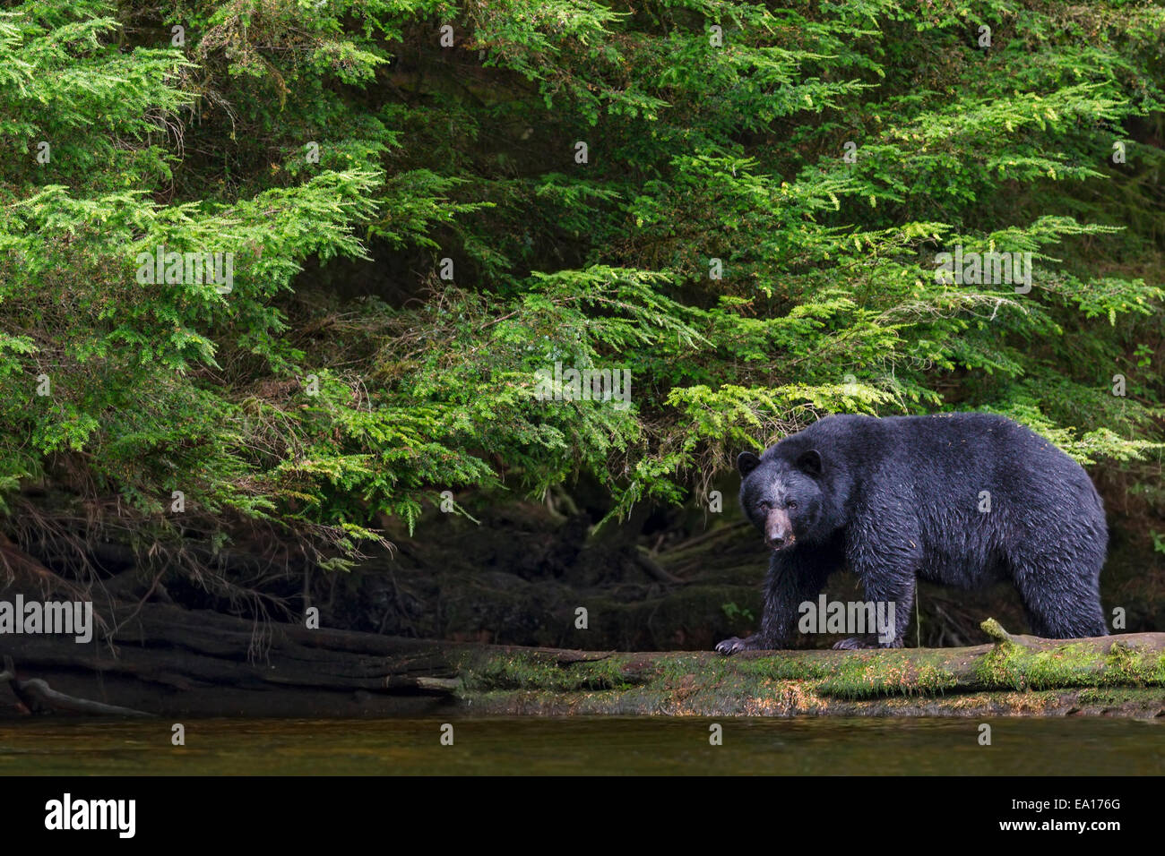 Black bear fishing for seasonally abundant salmon in the summer along a river, Tongass National Forest, Southeast - Stock Image