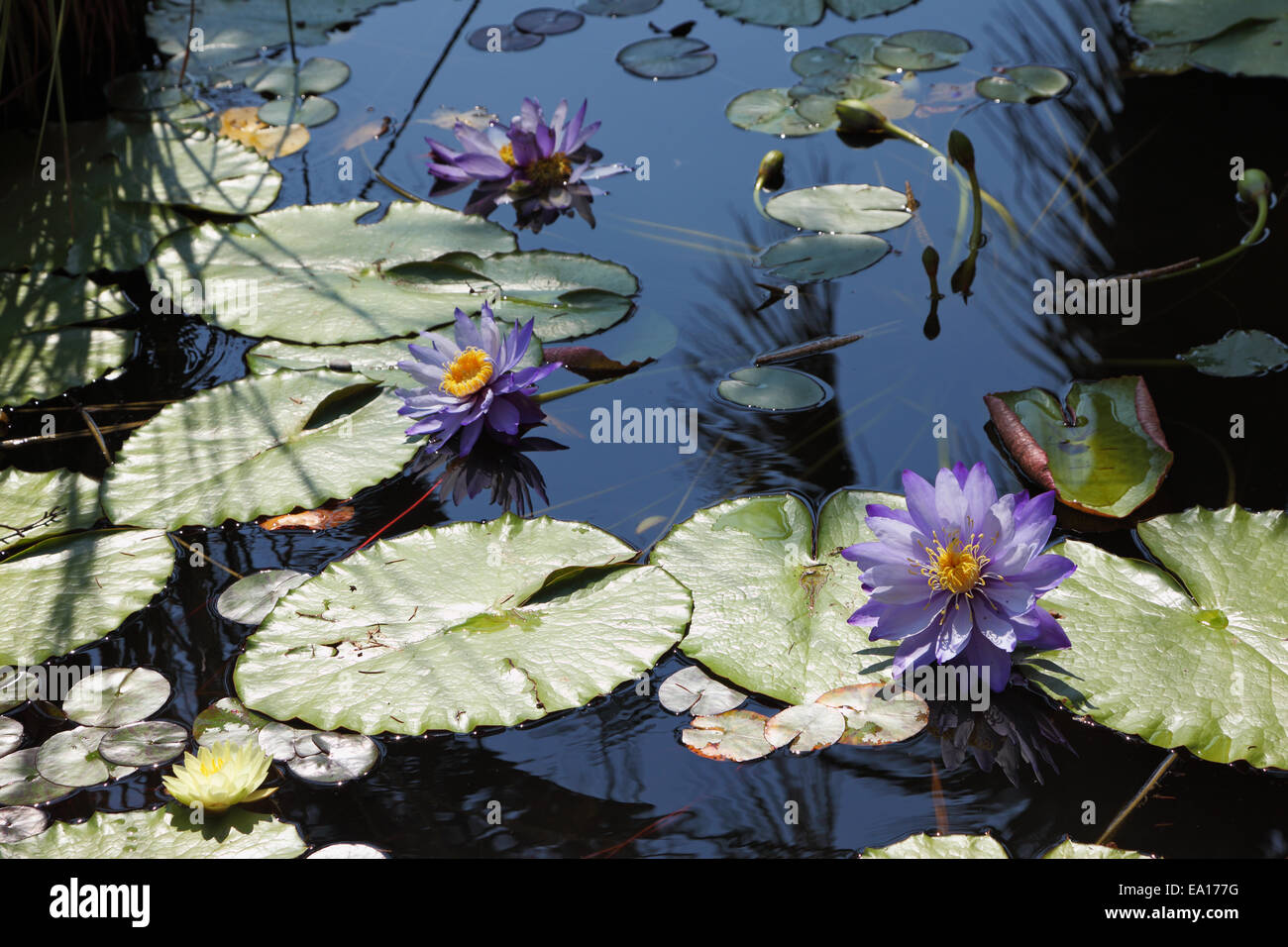 Large pond and water lilies Stock Photo