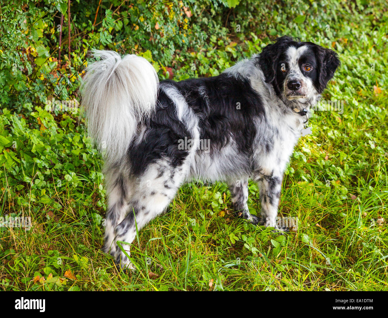 A black and white mongrel dog, with an alert look, against a background of vegetation. - Stock Image