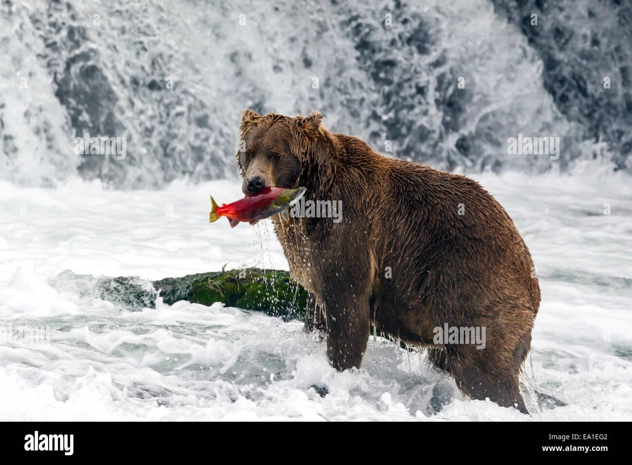 Male brown bear catching spawning red salmon at Brooks Falls, Katmai National Park, Alaska - Stock Image