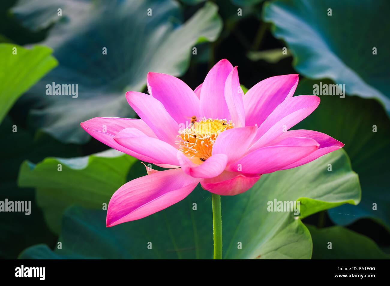 Beautiful lotus flower in blooming stock photo 75021424 alamy beautiful lotus flower in blooming izmirmasajfo