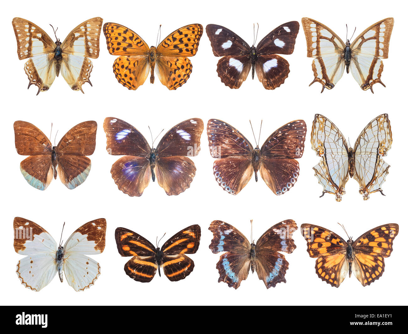 twelve brush-footed butterfly - Stock Image