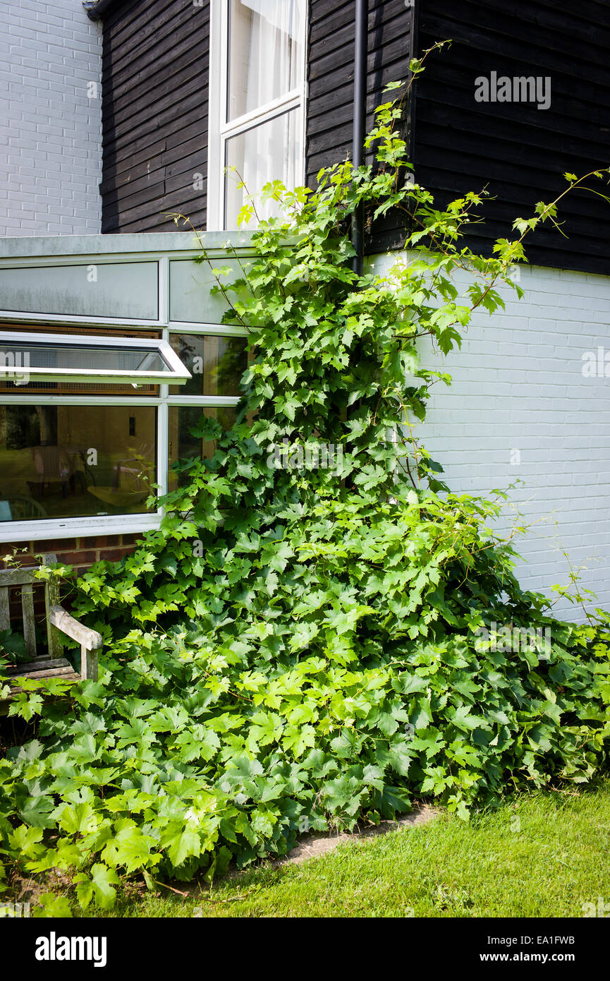 Overgrown grape vine spreading and climbing before late summer prouning - Stock Image