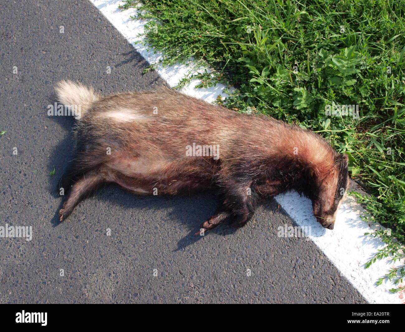 Badger as traffic victim - Stock Image