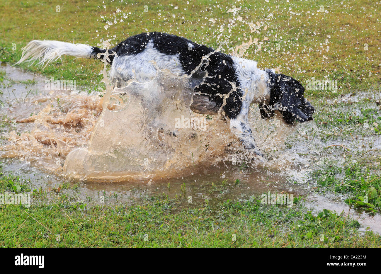 An adult Black and White English Springer Spaniel dog having fun splashing alone in a puddle of water. England, - Stock Image
