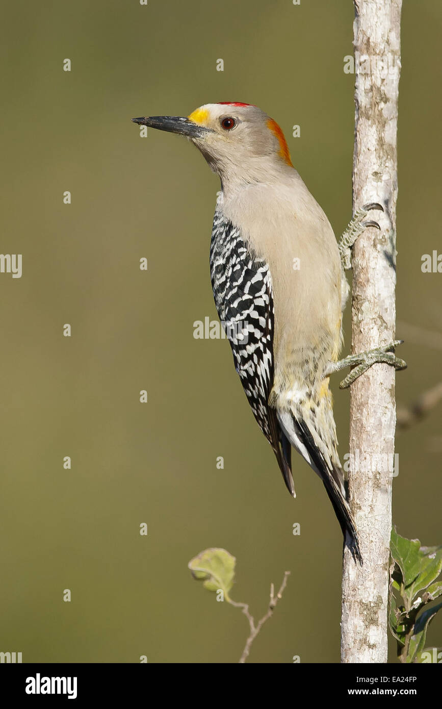 Golden-fronted Woodpecker - Melanerpes aurifrons - male Stock Photo