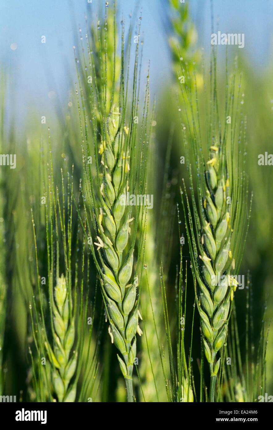 wheat stooling