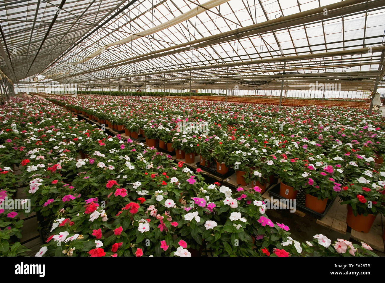 Agriculture - Vinca plants in bloom stage growing in a flower Stock ...