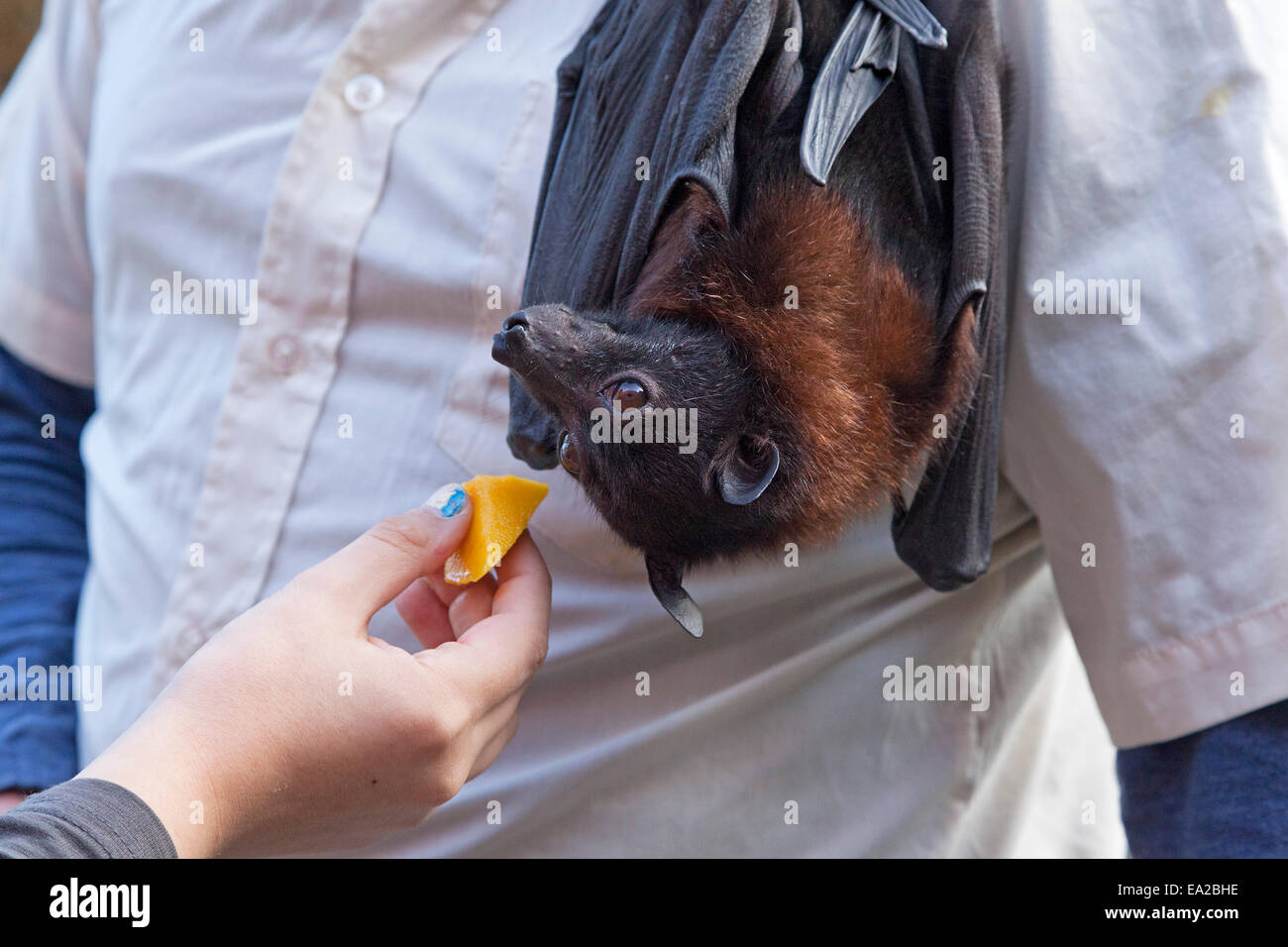 flying fox being fed with a piece of fruit at the bat centre 'Noctalis', Bad Segeberg, Schleswig-Holstein, - Stock Image