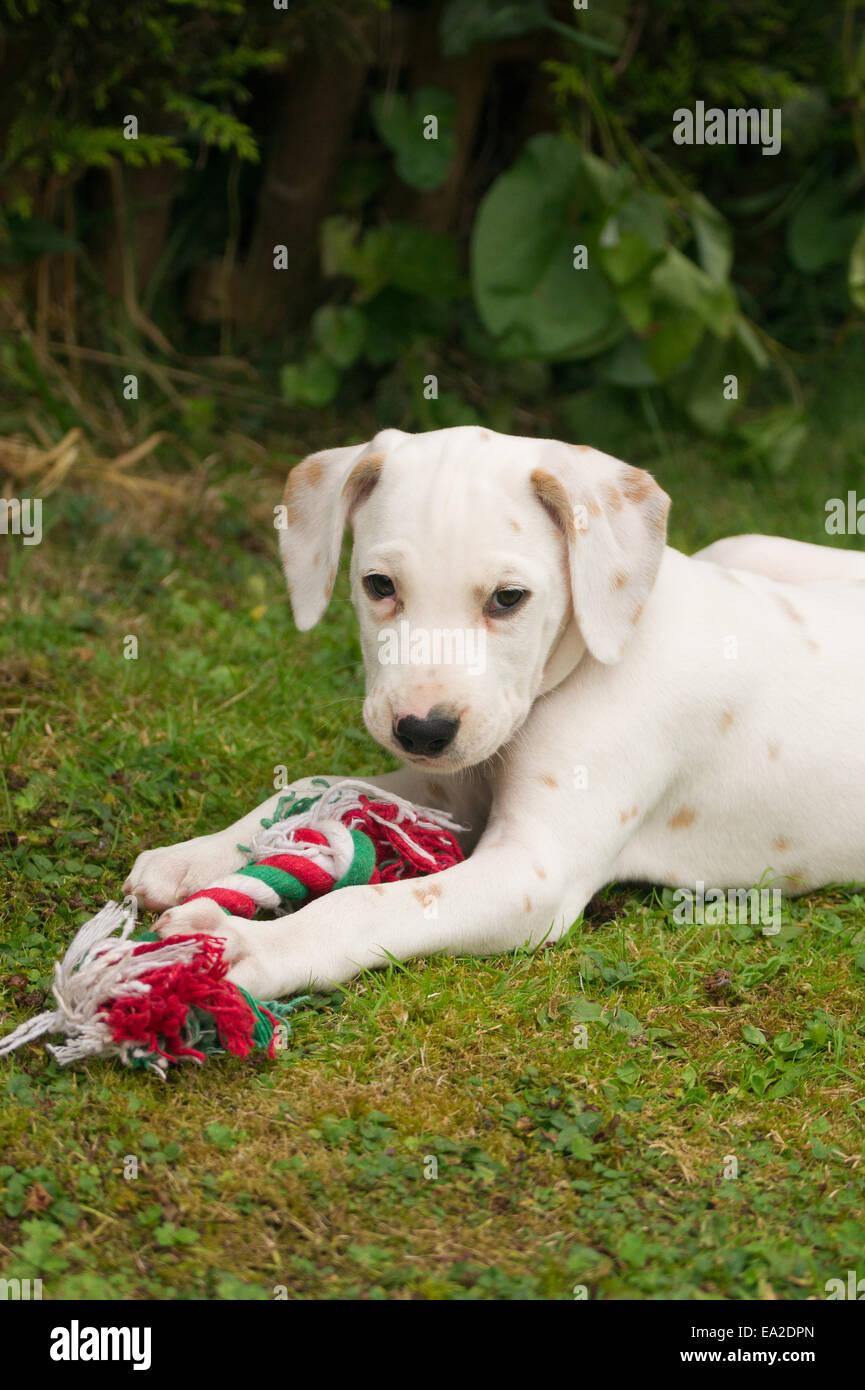 Lemon spotted Dalmatian puppy. - Stock Image