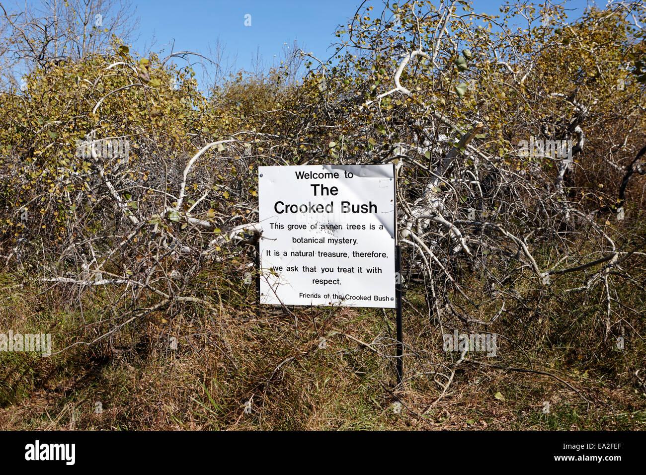 the crooked bush group of twisted aspen trees Saskatchewan Canada - Stock Image