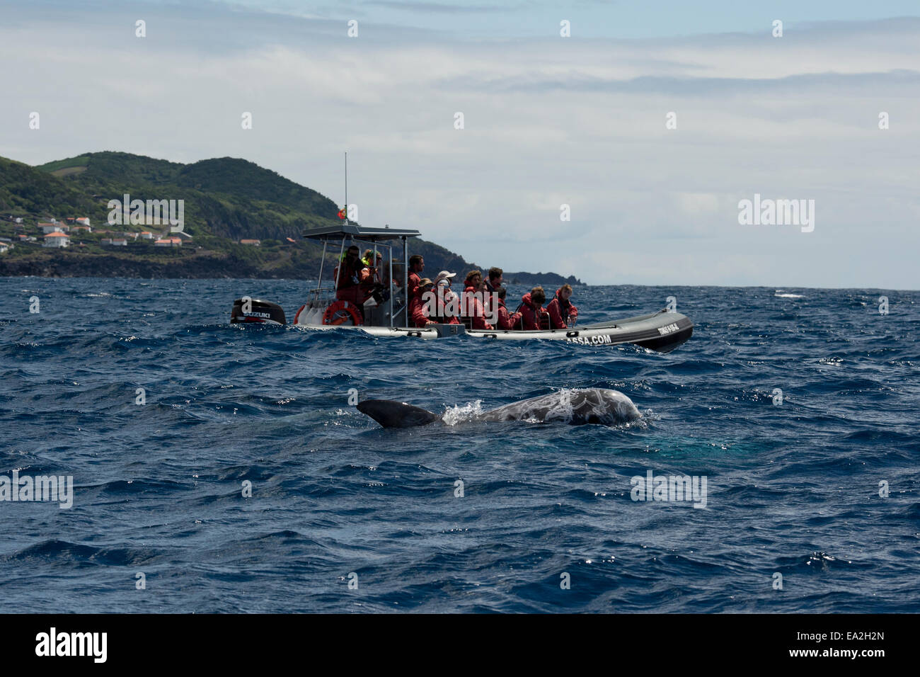 Tourists watch a Risso's Dolphin (Grampus griseus) during a Whale-Watching trip. Azores, Atlantic Ocean - Stock Image