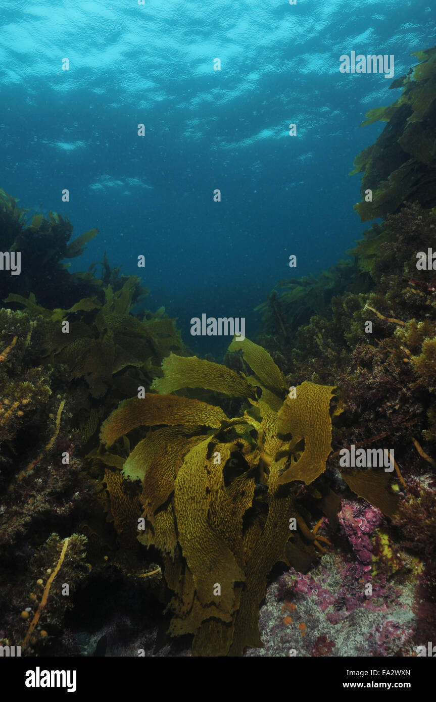 Various brown sea weeds of temperate southern Pacific ocean growing on shallow rocky reef. Stock Photo