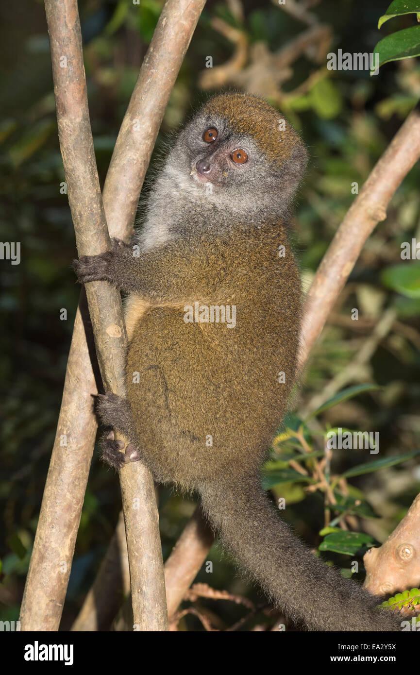Eastern Lesser Bamboo Lemur (Hapalemur griseus), Andasibe-Mantadia National Park, Madagascar, Africa - Stock Image